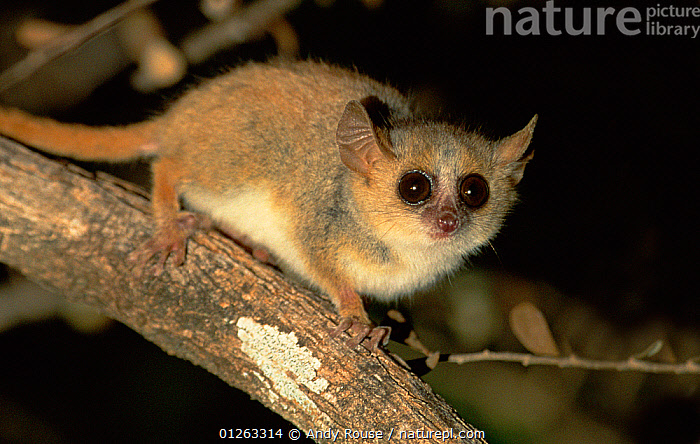 Grey mouse lemur (Microcebus murinus) on branch in spiny forest at night, Madagascar, EYES,LEMURS,MADAGASCAR,MAMMALS,NIGHT,PORTRAITS,PRIMATES,VERTEBRATES, Andy Rouse