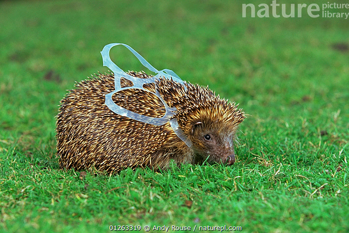 European hedgehog (Erinaceus europeaus) caught in beer can wrapper (photograph taken at vets) UK  ,  EUROPE,HEDGEHOGS,INSECTIVORES,MAMMALS,POLLUTION,PORTRAITS,REFUSE,RUBBISH,UK,VERTEBRATES, United Kingdom  ,  Andy Rouse