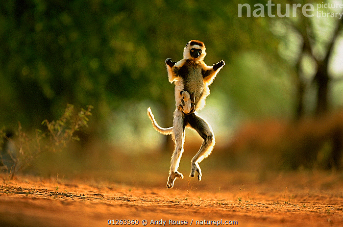 Verreaux's sifaka (Propithecus verreauxi) running carrying baby, Berenty Private Reserve, Madagascar, ACTION,AFRICA,BABIES,BEHAVIOUR,Berenty Private Reserve,CARRYING,CATALOGUE2,dancing,full length,fun,JUMPING,LEAPING,LEMURS,MADAGASCAR,MAMMALS,mischief,MOTHER BABY,ninja,Nobody,NP,on the move,outdoors,PRIMATES,RESERVE,RUNNING,SIFAKAS,two animals,VERTEBRATES,WILDLIFE,young animal,National Park, Andy Rouse