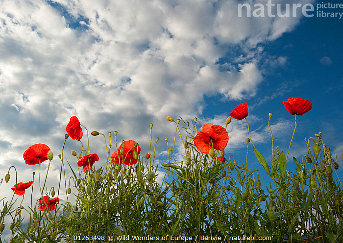 Common poppy (Papaver rhoeas) flowers, France, May 2009  ,  DICOTYLEDONS,EUROPE,FLOWERS,FRANCE,GROUPS,LOW ANGLE SHOT,MEADOWLAND,NIALL BENVIE,PAPAVERACEAE,PLANTS,RED,WWE,Grassland  ,  Wild Wonders of Europe / Benvie