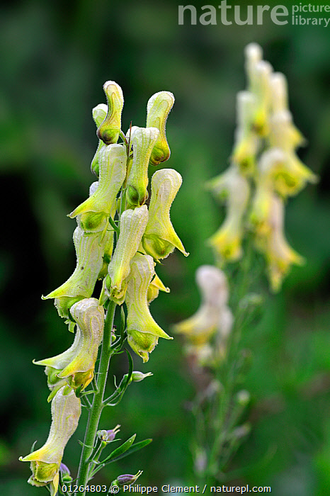 Wolfsbane (Aconitum vulparia) in flower, Italy  ,  DICOTYLEDONS,EUROPE,FLOWERS,ITALY,PLANTS,RANUNCULACEAE,VERTICAL,YELLOW  ,  Philippe Clement