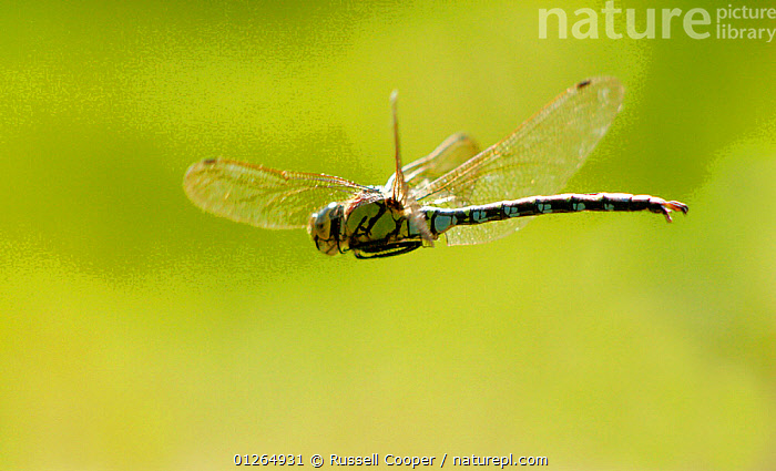 Male Southern hawker dragonfly (Aeshna cyanea) in flight, Wimbledon Common, South London, UK  ,  ARTHROPODS,DRAGONFLIES,EUROPE,FLYING,INSECTS,INVERTEBRATES,ODONATA,UK, United Kingdom  ,  Russell Cooper