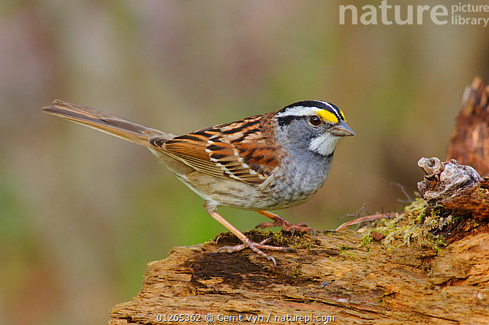 White-throated Sparrow (Zonotrichia albicollis) in white-striped morph breeding plumage. Tompkins County, New York, USA  ,  BIRDS,BREEDING  PLUMAGE,SPARROWS,SPRING,USA,VERTEBRATES,WOODLANDS,North America  ,  Gerrit Vyn
