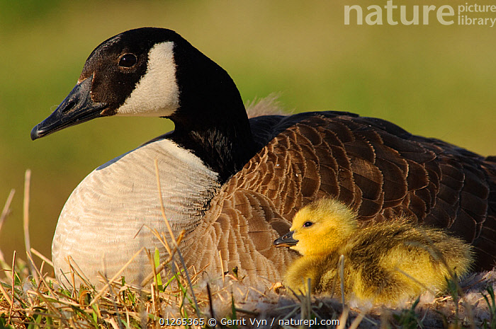Canada Goose (Branta canadensis) brooding a recently hatched chick at the nest. Tompkins County, New York, USA, CHICKS,BABIES,BIRDS,FAMILES,GEESE,NESTS,USA,VERTEBRATES,WATERFOWL,North America,Wildfowl, Gerrit Vyn