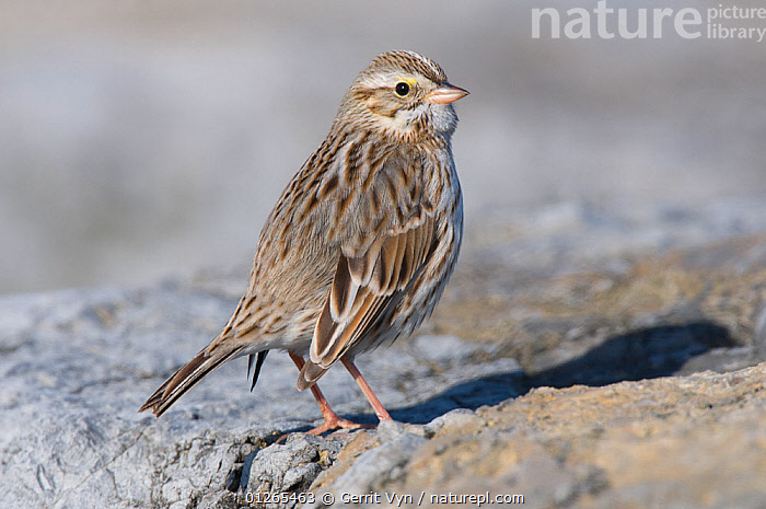 "Adult ""Ipswich"" Savannah Sparrow (Passerculus sandwichensis) of the subspecies P. s. princeps. Ocean County, New Jersey, USA, January.  ,  BIRDS,SPARROWS,USA,VERTEBRATES,WINTER,North America  ,  Gerrit Vyn"