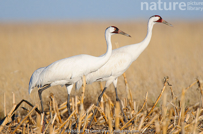 Adult Whooping Cranes (Grus americana) from the wild population, foraging in a corn field during spring migration. Central South Dakota, USA, April.  ,  AGRICULTURE,BEHAVIOUR,BIRDS,CORN,CRANES,CROPS,ENDANGERED,FEEDING,FIELDS,MIGRATION,PAIR,PESTS,TWO,USA,VERTEBRATES,North America  ,  Gerrit Vyn