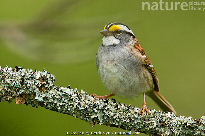 Adult white-striped morph White-throated Sparrow (Zonotrichia albicollis) perched on branch, in breeding plumage. Tompkins County, New York, USA, May.  ,  BIRDS,BREEDING PLUMAGE,MALES,SPARROWS,SPRING,USA,VERTEBRATES,North America  ,  Gerrit Vyn