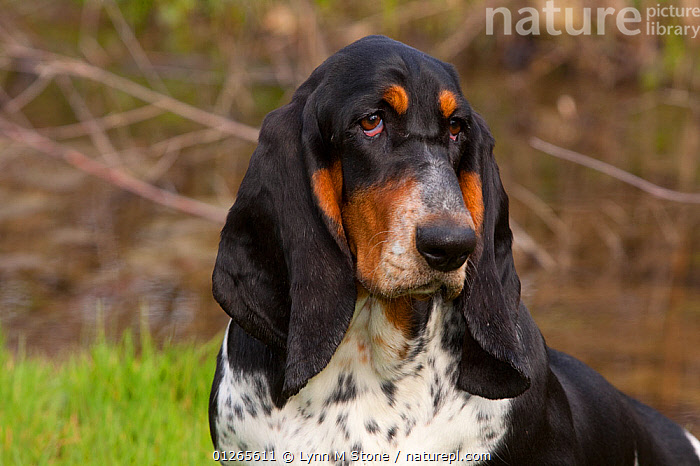 Domestic dog, Basset Hound, 9-month female, St. Charles, Illinois, USA, DOGS,EARS,EXPRESSIONS,HOUNDS,MEDIUM DOGS,OUTDOORS,PETS,PORTRAITS,SAD,SCENTHOUNDS,TRI COLOR,TRICOLOURED,USA,VERTEBRATES,WOODLANDS,Concepts,North America,Canids, Lynn M Stone