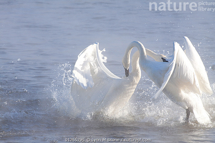 Trumpeter Swans (Cygnus buccinator) in winter morning mist, showing aggression during courtship behaviour, Mississippi River, Minnesota, USA, February, AGGRESSION, animal behaviour, BIRDS, CATALOGUE2, Conflict, COURTSHIP, DOMINANCE, FIGHTING, full length, MALES, Minnesota, Mississippi River, MIST, Morning, Nobody, outdoors, pecking, RIVERS, side view, splashing, SWANS, two animals, USA, VERTEBRATES, WATER, WATERFOWL, waters edge, WHITE, WINGS, WINTER,North America,Wildfowl, Lynn M Stone