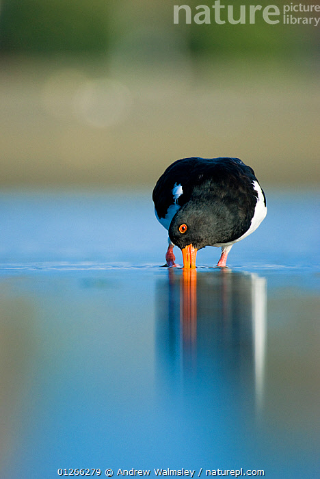 South Island pied oystercatcher (Haematopus finschi) feeding in shallow water, Christchurch, New Zealand, March  ,  animals in the wild, BIRDS, CATALOGUE2, christchurch, close up, CLOSE-UPS, copyspace, FEEDING, HUMOROUS, humour, new zealand, NEW-ZEALAND, Nobody, one animal, outdoors, OYSTERCATCHERS, REFLECTIONS, Shallow, STANDING, VERTEBRATES, VERTICAL, WADERS, WATER, water surface, WILDLIFE,Concepts,AUSTRALASIA  ,  Andrew Walmsley