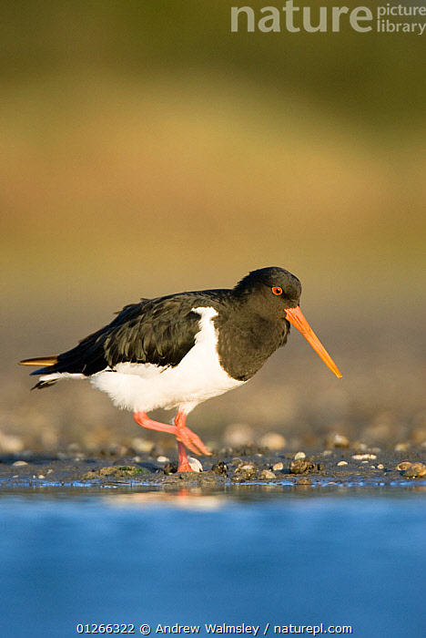 South Island pied oystercatcher (Haematopus finschi) at waters edge, Christchurch, New Zealand, February  ,  BIRDS, NEW-ZEALAND, OYSTERCATCHERS, VERTEBRATES, VERTICAL, WADERS, WALKING,AUSTRALASIA  ,  Andrew Walmsley