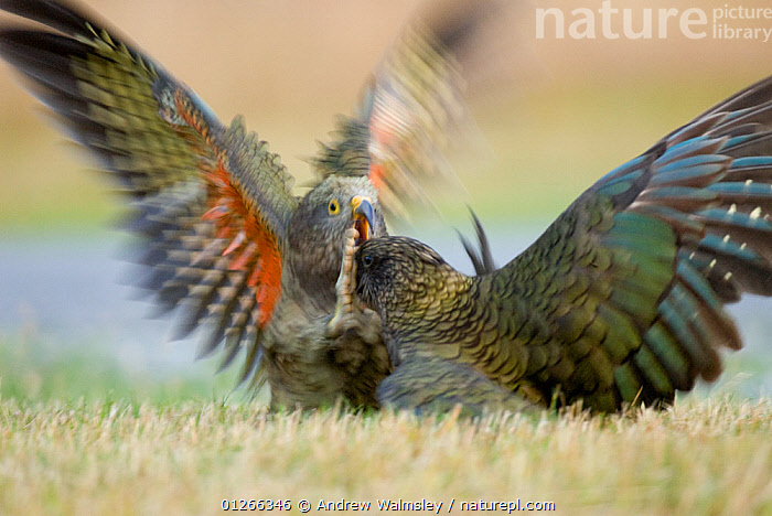 Kea (Nestor notabilis) juvenile fighting an adult over a road killed hare, Arthur's Pass, New Zealand, March, Vulnerable species  ,  BEHAVIOUR,BIRDS,ENDANGERED,ENDEMIC,FIGHTING,JUVENILE,MOVEMENT,NEW ZEALAND,PARROTS,VERTEBRATES,WINGS,Aggression  ,  Andrew Walmsley