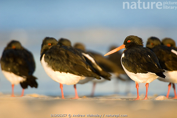 South Island pied oystercatchers (Haematopus finschi) at roost on sandy beach, Christchurch, New Zealand, May  ,  BIRDS, COASTS, GROUPS, NEW-ZEALAND, OYSTERCATCHERS, VERTEBRATES, WADERS,AUSTRALASIA  ,  Andrew Walmsley