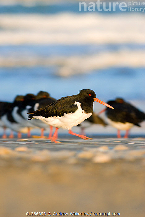 South Island pied oystercatcher (Haematopus finschi) walking on sandy beach, Christchurch, New Zealand, May  ,  BIRDS, GROUPS, NEW-ZEALAND, OYSTERCATCHERS, PROFILE, VERTEBRATES, VERTICAL, WADERS, WALKING,AUSTRALASIA  ,  Andrew Walmsley