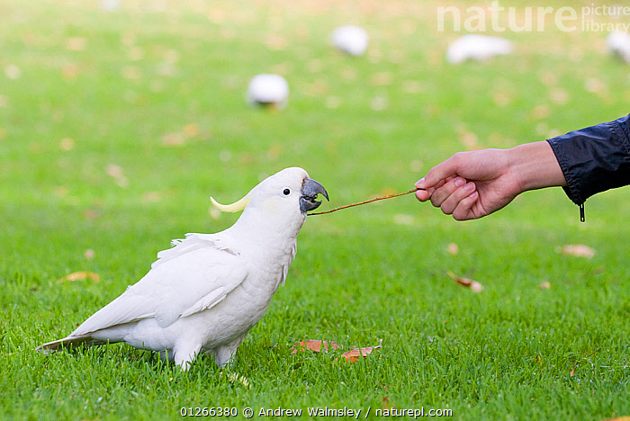 Sulphur crested cockatoo (Cacatua galerita) playing with stick held by a tourist, Sydney Botanic gardens, Australia, August  ,  AUSTRALIA,BEHAVIOUR,BIRDS,COCKATOOS,HANDS,PARROTS,PEOPLE,PLAY,VERTEBRATES,Communication  ,  Andrew Walmsley