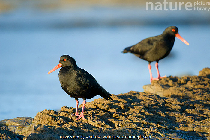 Two Variable oystercatchers (Haematopus unicolor) Kaikoura, New Zealand, July  ,  BIRDS,NEW ZEALAND,OYSTERCATCHERS,VERTEBRATES,WADERS  ,  Andrew Walmsley