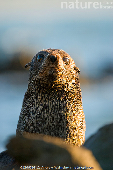 New Zealand fur seal (Arctocephalus forsteri) portrait, Kaikoura, New Zealand, July  ,  CARNIVORES,FUR SEALS,MAMMALS,NEW ZEALAND,PINNIPEDS,PORTRAITS,VERTEBRATES,VERTICAL, CARNIVORES  ,  Andrew Walmsley