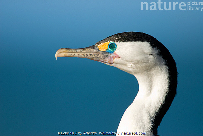 Pied shag / cormorant (Phalacrocorax varius varius) profile, Kaikoura, New Zealand, October  ,  BIRDS,CORMORANTS,CUTOUT,HEADS,NEW ZEALAND,PORTRAITS,PROFILE,SEABIRDS,VERTEBRATES  ,  Andrew Walmsley