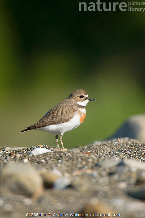 Banded dotterel / Double banded plover (Charadrius bicinctus) on shingle, Kaikoura, New Zealand, October  ,  BIRDS,NEW ZEALAND,PLOVERS,VERTEBRATES,VERTICAL,WADERS  ,  Andrew Walmsley