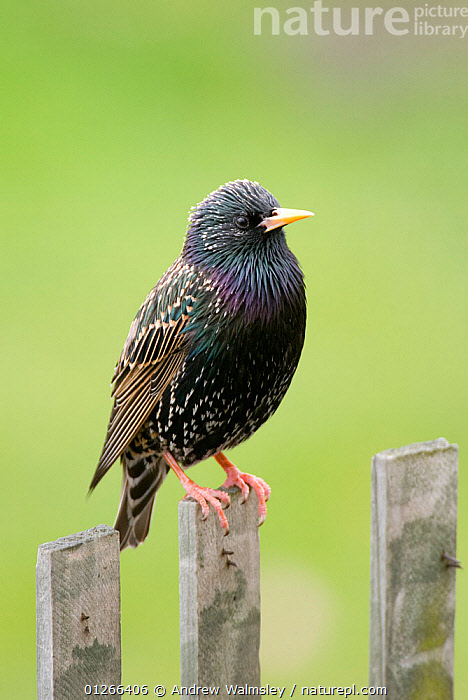 European starling (Sturnus vulgaris) perched on fence post, Christchurch, New Zealand, October  ,  BIRDS,CUTOUT,NEW ZEALAND,PORTRAITS,STARLINGS,VERTEBRATES,VERTICAL  ,  Andrew Walmsley