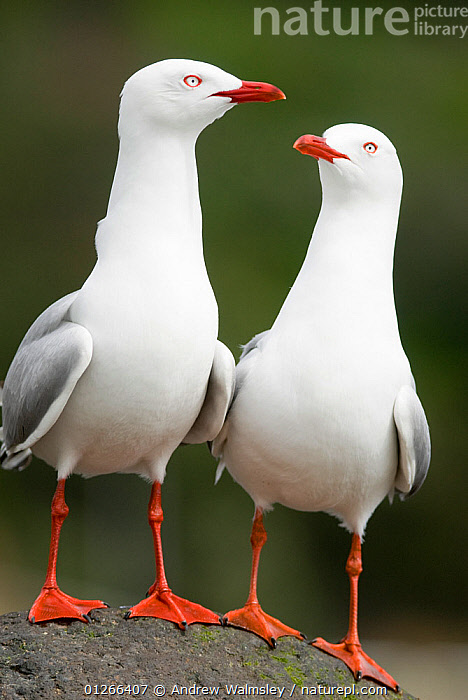 Two Red billed gulls (Chroicocephalus scopulinus) on rock, Akaroa, New Zealand, October  ,  BIRDS, GULLS, NEW-ZEALAND, SEABIRDS, VERTEBRATES, VERTICAL,AUSTRALASIA  ,  Andrew Walmsley