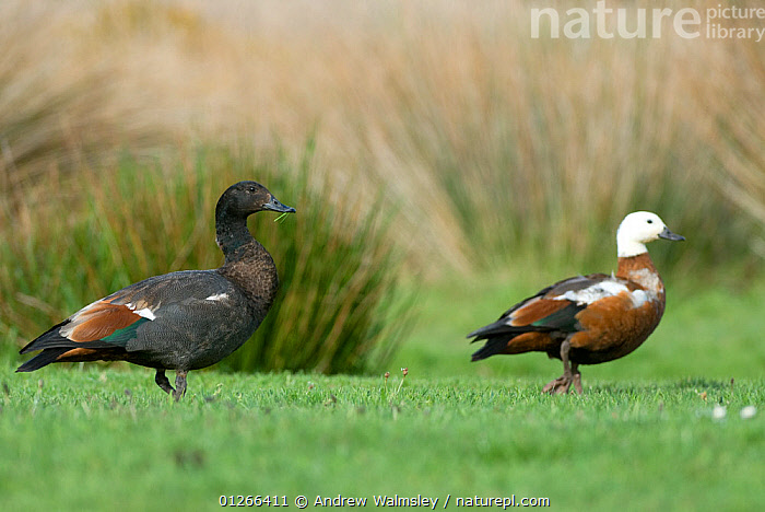 Paradise shelduck (Tadorna variegata) pair, male on the left, Christchurch, New Zealand, October  ,  BIRDS,DUCKS,MALE FEMALE PAIR,NEW ZEALAND,VERTEBRATES,WATERFOWL  ,  Andrew Walmsley