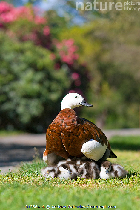 Female Paradise shelduck (Tadorna variegata) with ducklings, Christchurch, New Zealand, October  ,  BABIES,BIRDS,CHICKS,DUCKS,FEMALES,GROUPS,MOTHER BABY,NEW ZEALAND,VERTEBRATES,VERTICAL,WATERFOWL  ,  Andrew Walmsley