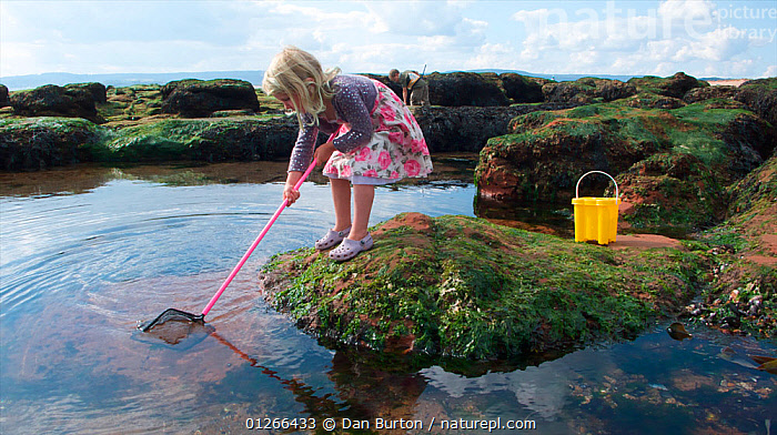 Young girl fishing in a tidepool on Exmouth Beach, Devon, UK, September 2009, Model released.  ,  CHILDREN,COASTS,EUROPE,EXPLORING,FISHING,LEARNING,LITTORAL,NET,PEOPLE,ROCKPOOL,ROCKPOOLS,SEASHORE,SHRIMPING,TIDEPOOLS,UK,ENGLAND,Intertidal, United Kingdom,core collection xtwox  ,  Dan Burton