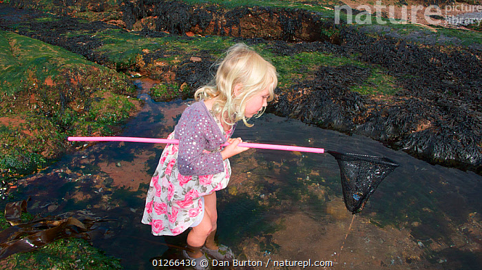 Young girl checking her net for animals caught in a tidepool on Exmouth Beach, Devon, UK, September 2009, Model released.  ,  CHILDREN,COASTS,EUROPE,EXPLORING,FISHING,LEARNING,LITTORAL,PEOPLE,ROCKPOOL,ROCKPOOLS,SEASHORE,SHRIMPING,TIDEPOOLS,UK,ENGLAND,Intertidal, United Kingdom  ,  Dan Burton