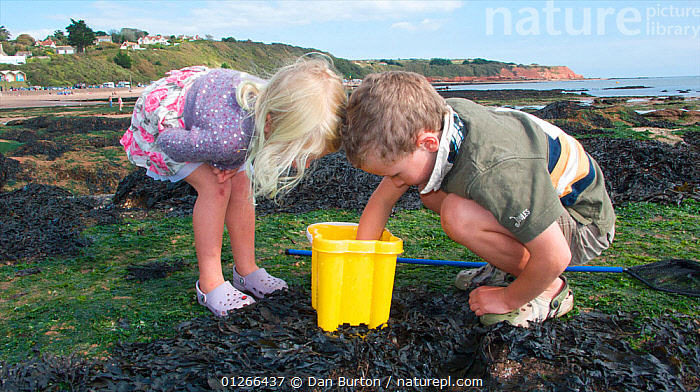 Children checking their bucket for animals caught in a tidepool on Exmouth Beach, Devon, UK, September 2009, Model released.  ,  BEACHES,BOY,CHILDREN,COASTS,EUROPE,EXPLORING,FISHING,GIRL,LANDSCAPES,LEARNING,LITTORAL,PEOPLE,ROCKPOOL,ROCKPOOLS,SEASHORE,SHRIMPING,TIDEPOOLS,TWO,UK,ENGLAND,Intertidal, United Kingdom  ,  Dan Burton