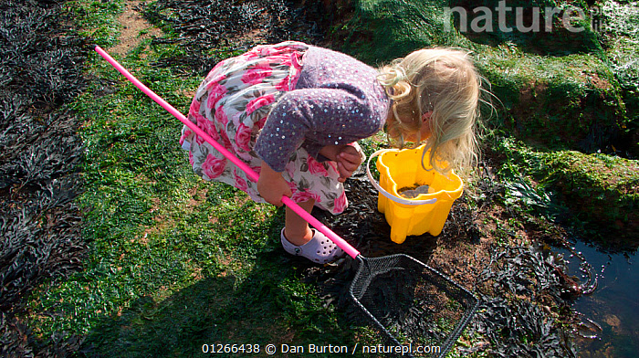 Young girl checking her bucket for animals caught in a tidepool on Exmouth Beach, Devon, UK, September 2009, Model released.  ,  BEACHES,CHILDREN,COASTS,EUROPE,EXPLORING,FISHING,HIGH ANGLE SHOT,LEARNING,LITTORAL,PEOPLE,ROCKPOOL,ROCKPOOLS,SHRIMPING,TIDEPOOLS,UK,ENGLAND,Intertidal, United Kingdom  ,  Dan Burton