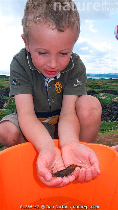 Young boy with shrimp caught in a tidepool on Exmouth Beach, Devon, UK, September 2009, Model released.  ,  BEACHES,CHILDREN,COASTS,CRUSTACEANS,EUROPE,EXPLORING,FISHING,INVERTEBRATES,LEARNING,PEOPLE,SEASHORE,SHRIMPING,UK,VERTICAL,ENGLAND, United Kingdom,core collection xtwox  ,  Dan Burton
