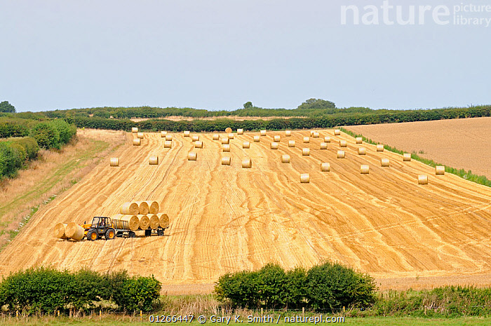 Tractor pulling trailor with round straw bales, Norfolk, Uk, August.  ,  AGRICULTURE,BALE,BALES,CROPS,EUROPE,FARMLAND,HARVESTING,LANDSCAPES,TRACTOR,TRACTORS,UK,VEHICLES, United Kingdom  ,  Gary K. Smith