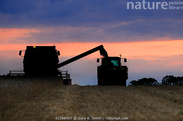 Wheat harvesting at sunset, Norfolk, Uk, August  ,  ENGLAND,EUROPE,FARMLAND,HARVESTING,MACHINERY,SILHOUETTES,SUNSET,TRACTOR,TRACTORS,UK,VEHICLES, United Kingdom  ,  Gary K. Smith