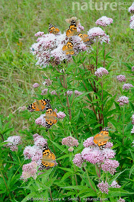 Painted lady butterflies (Vanessa cardui) feeding on Hemp agrimony (Eupatorium cannabinum), Norfolk, England, July.  ,  ARTHROPODS, BUTTERFLIES, EUROPE, FLOWERS, GROUPS, INSECTS, INVERTEBRATES, LEPIDOPTERA, UK, VERTICAL,United Kingdom  ,  Gary K. Smith