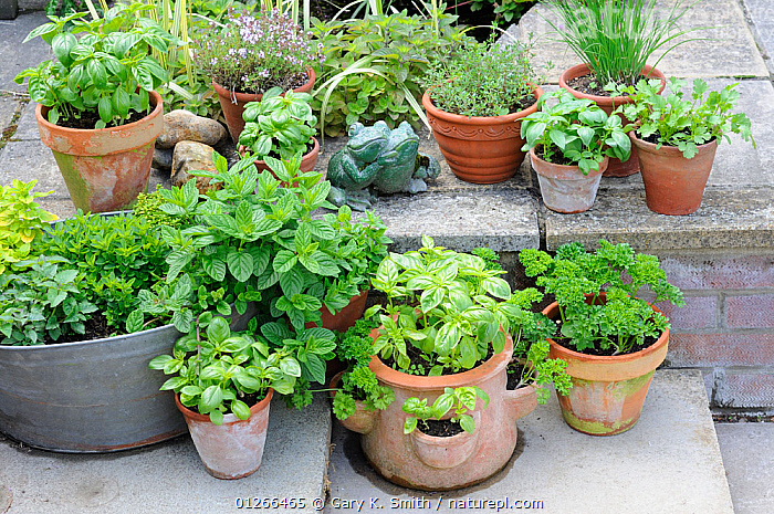 Pot grown herbs including mint, chives, basil, parsley, and thyme, pots arranged on patio, Norfolk, UK, June  ,  ARRANGEMENT,CONTAINERS,CULINARY,GARDENS,HERBS,KITCHEN,PLANTERS,SUMMER,Europe, United Kingdom  ,  Gary K. Smith
