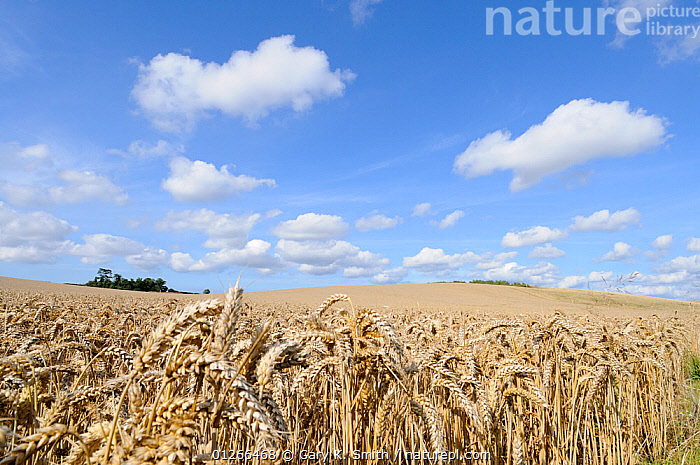 Wheat field {Triticum aestivum} ready for harvest in high summer with blue sky and white clouds, Norfolk, UK, August  ,  CROPS,EUROPE,FARMLAND,GRAMINEAE,GRASSES,LANDSCAPES,MONOCOTYLEDONS,PLANTS,POACEAE,UK, United Kingdom  ,  Gary K. Smith