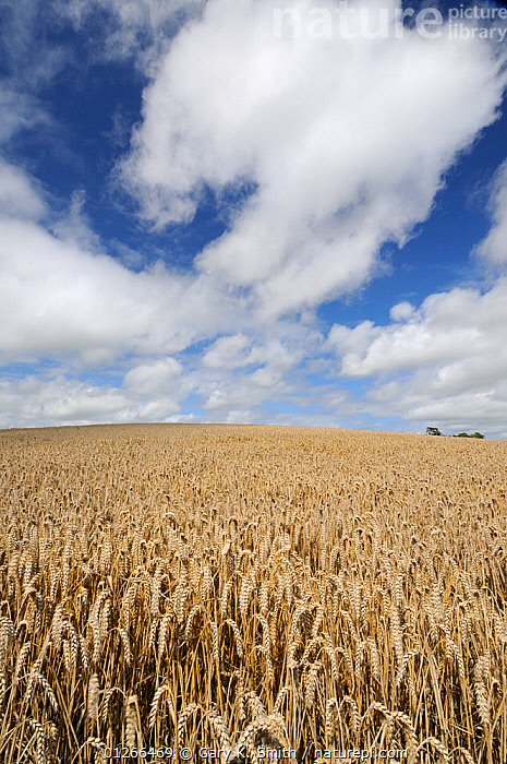 Wheat field {Triticum aestivum} ready for harvest in high summer with blue sky and white clouds, Norfolk, UK, August  ,  CROPS,EUROPE,FARMLAND,GRAMINEAE,GRASSES,LANDSCAPES,MONOCOTYLEDONS,PLANTS,POACEAE,SUMMER,UK,VERTICAL, United Kingdom  ,  Gary K. Smith