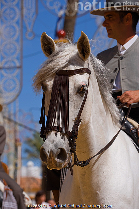Portrait of a traditionally dressed Andalusian horse (Pura Raza Espanola) with rider during the Feria Del Caballo (Horse Fair), Jerez De La Frontera, Andalucia, Spain, May 2009  ,  COSTUME,EUROPE,HORSE,HORSES,MAN,PEOPLE,PORTRAITS,SPAIN,TOURISM,TRADITIONAL,VERTICAL  ,  Kristel Richard