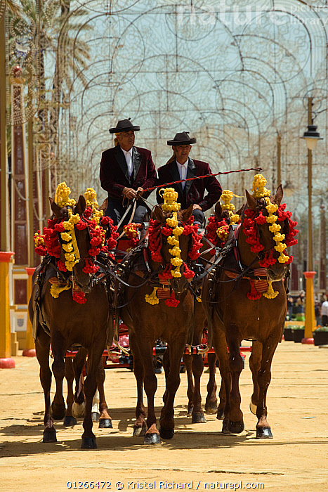 Five traditionally dressed horses, pulling a carriage, parade during the Feria Del Caballo (Horse Fair), Jerez De La Frontera, Andalucia, Spain, May 2009  ,  CITIES,COLOURFUL,COSTUME,EUROPE,GROUPS,HORSE,HORSES,MAN,PEOPLE,SPAIN,TOURISM,TRADITIONAL,VERTICAL  ,  Kristel Richard
