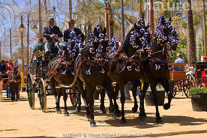 Five traditionally dressed horses, pulling a carriage, parade during the Feria Del Caballo (Horse Fair), Jerez De La Frontera, Andalucia, Spain, May 2009  ,  CITIES,COLOURFUL,COSTUME,EUROPE,GROUPS,HORSE,HORSES,LANDSCAPES,MAN,PEOPLE,SPAIN,TOURISM,TRADITIONAL,VERTICAL  ,  Kristel Richard