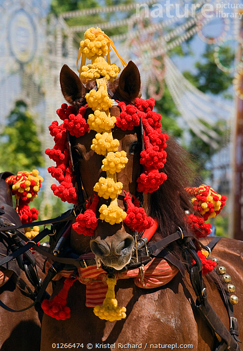 Portrait of a traditionally dressed horse parading during the Feria Del Caballo (Horse Fair), Jerez De La Frontera, Andalucia, Spain, May 2009  ,  CITIES,COLOURFUL,COSTUME,EUROPE,HORSE,HORSES,RED,SPAIN,TOURISM,TRADITIONAL,VERTICAL,YELLOW  ,  Kristel Richard