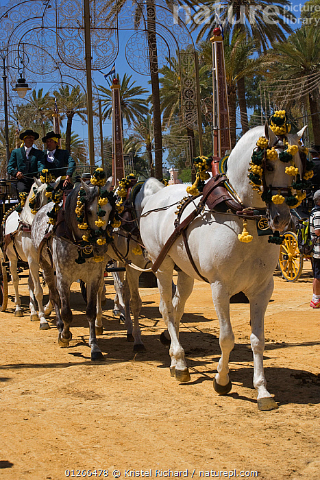 Five traditionally dressed horses, pulling a carriage, parade during the Feria Del Caballo (Horse Fair), Jerez De La Frontera, Andalucia, Spain, May 2009  ,  CITIES,COLOURFUL,COSTUME,EUROPE,GREY,GROUPS,HORSE,HORSES,LANDSCAPES,PEOPLE,ROADS,SPAIN,TOURISM,TRADITIONAL,VERTICAL,YELLOW  ,  Kristel Richard