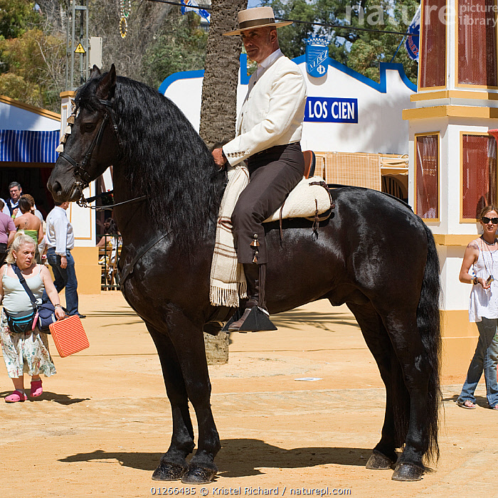 A traditionally dressed Andalusian gentleman parades with his black Andalusian stallion (Pura Raza Espanola) during the Feria Del Caballo (Horse Fair), Jerez De La Frontera, Andalucia, Spain, May 2009  ,  CITIES,COLOURFUL,COSTUME,EUROPE,HORSE,HORSES,MAN,PEOPLE,PROFILE,RIDING,SPAIN,TOURISM,TRADITIONAL,VERTICAL  ,  Kristel Richard