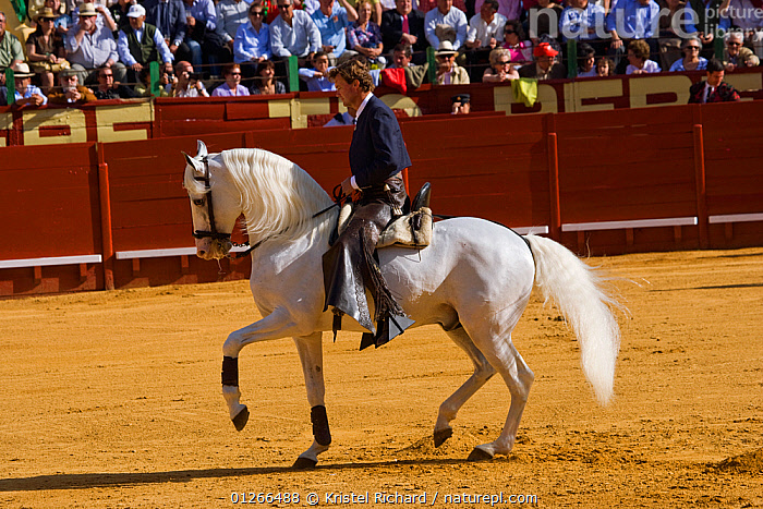 A traditionally dressed 'Rejoneador' (lancer) on his Lusitano stallion, during a 'Corrida de Rejones' (mounted corrida) bullfight, Plaza De Toros, Jerez De La Frontera, Andalusia, Spain. 2009  ,  BULLFIGHTING,EUROPE,GREY,HORSE,HORSES,PEOPLE,RIDING,SPAIN,TOURISM,TRADITIONAL  ,  Kristel Richard
