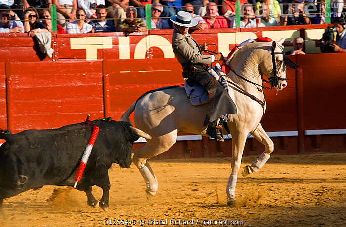 A traditionally dressed 'Rejoneador' (lancer) fights a bull on his Lusitano stallion, during a 'Corrida de Rejones' (mounted corrida) bullfight, Plaza De Toros, Jerez De La Frontera, Andalusia, Spain. 2009  ,  ACTION,AGGRESSION,BULLFIGHTING,BULLFIGHTS,BULLS,CRUELTY,EUROPE,FIGHTING,HORSE,HORSEBACK,HORSES,MALES,PEOPLE,RIDING,RUNNING,SKILL,SPAIN,TOURISM,TRADITIONAL,Concepts,,Skill, Efficiency,  ,  Kristel Richard