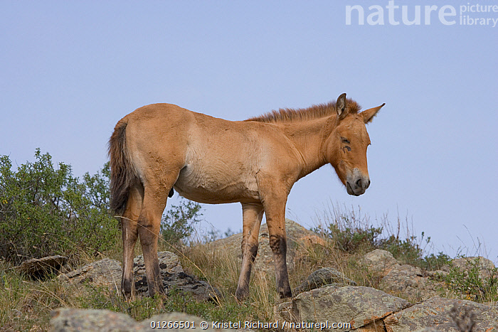 Wild Przewalski (or Takhi) horse {Equus ferus przewalski} endangered species, young colt asleep, standing, Hustai National Park, Tuv Province, Mongolia, July 2007  ,  ASIA,BABIES,ENDANGERED,FOALS,HORSE,HORSES,LANDSCAPES,MONGOLIA,SLEEPING  ,  Kristel Richard