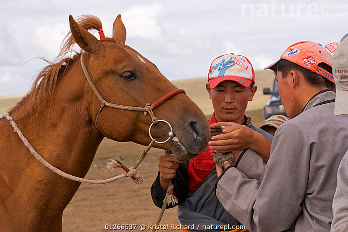 Horse trainer makes his racing stallion inhale coal smoke, believing that it will enhance his performance during the horse race of the national Naadam festival, held from July 11 � 13; near Ulaanbaatar, Mongolia. The horse is a Mongolian horse. 2007  ,  ASIA,COMPETITION,HORSE,HORSES,LANDSCAPES,MONGOLIA,PEOPLE,RACING,RIDING,RUNNING  ,  Kristel Richard