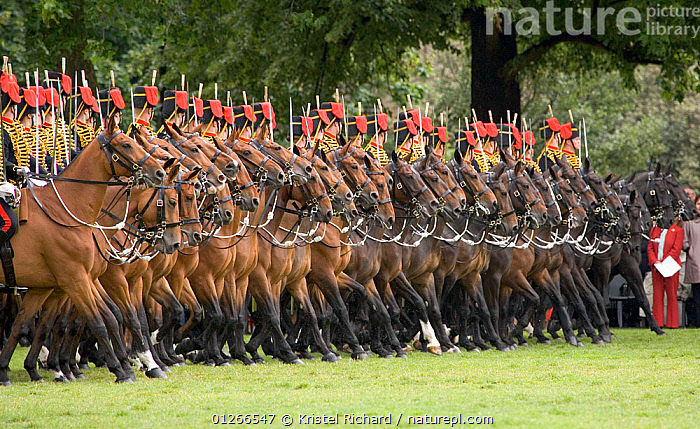 The King's Troops, Royal Horse Artillery, mounted on Irish Draft horses, celebrate their 60th anniversary in Hyde Park, June 2007 The horses pull a WWI canon used for the gun salutes, during official ceremonies.  ,  ARMY,CEREMONY,CITIES,COSTUME,CROWDS,DOMESTIC HORSE ,EQUUS CABALLUS,EUROPE,FORMATION,GROUPS,HORSES,PEOPLE,RIDING,ROYAL,SOLDIERS,TRADITIONAL,UK, United Kingdom  ,  Kristel Richard