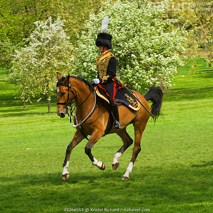 Member of The King's Troops, Royal Horse Artillery, mounted on Irish Draft horse and dressed in official uniform, parade to celebrate the Queen's Official Birthday, Hyde Park, London, England, UK. June 2009  ,  ARMY,BLOSSOM,CANTERING,CEREMONY,CITIES,DOMESTIC HORSE ,EQUUS CABALLUS,EUROPE,HORSES,PEOPLE,RIDING,ROYAL,RUNNING,SOLDIERS,TRADITIONAL,UK,VERTICAL, United Kingdom  ,  Kristel Richard